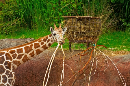Rothschild giraffe eating in zoo. Head and long neck. photo