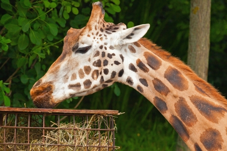 Girafe de Rothschild dans le zoo. Manger. T�te et long cou. photo