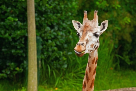 Girafe de Rothschild dans le zoo. T�te et long cou. photo