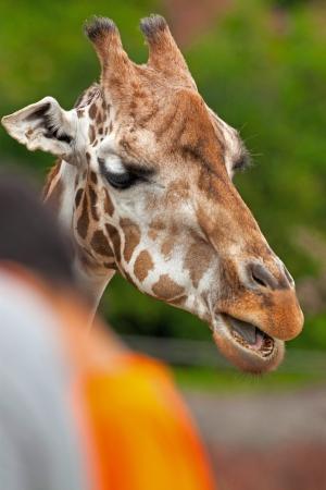Rothschild giraffe in zoo. Head and long neck. photo