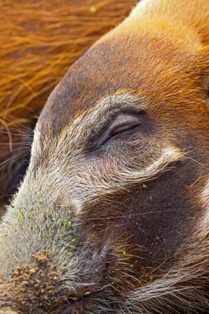 bush hog: Primer plano de un ojo cerrado, sue�o de un cerdo arbusto en el parque zool�gico.