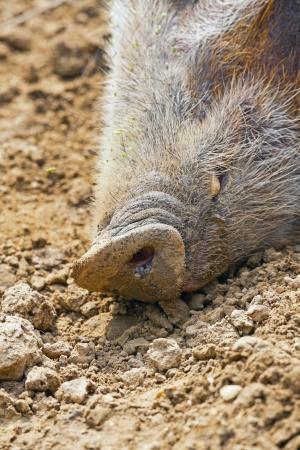 bush hog: Primer plano del hocico de un cerdo arbusto en el parque zool�gico.