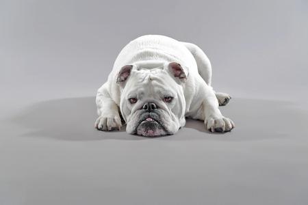 humoristic: White english bulldog lying on the floor. Studio shot against grey.