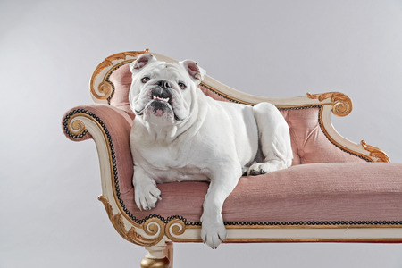 White english bulldog lying on vintage sofa. Studio shot against grey.
