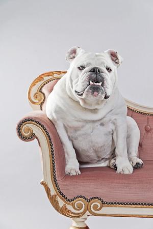 White english bulldog sitting on vintage sofa. Studio shot against grey. photo