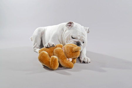humoristic: White english bulldog playing with teddy bear. Studio shot against grey.