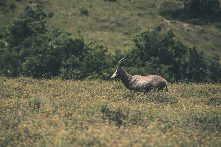 Blesbuck standing in field with yellow flowers. Mpongo game reserve. South Africa. photo