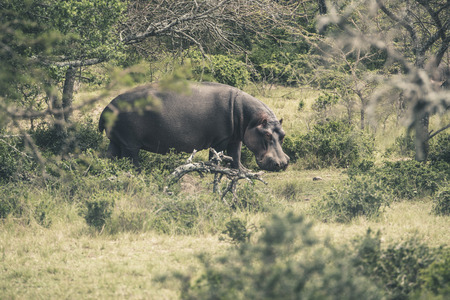 the game reserve: Hippo walking through bushes. Mpongo game reserve. South Africa.