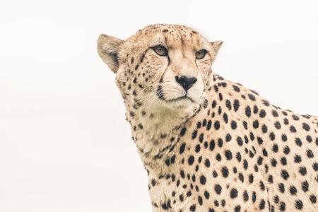 guepardo: Headshot de guepardo contra el fondo blanco. Tenikwa santuario de vida silvestre. Bah�a Plettenberg. Sud�frica.