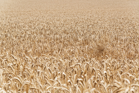foodstuff: Full frame agricultural background of a field of ripe golden wheat ready for harvesting as a foodstuff, biofuel of for silage Stock Photo