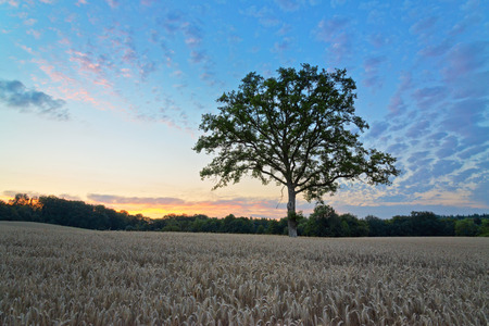 panoramic nature: Panoramic Nature View of Old Tall Green Tree at the Middle of Hay Field During Sunset Under Dramatic Blue Sky.