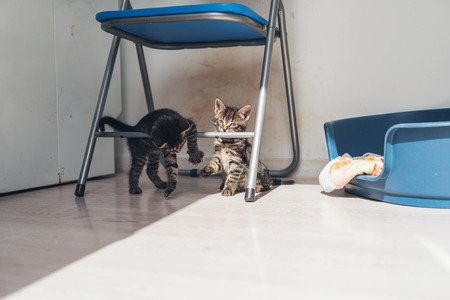 clambering: Two grey tabby kittens playing on a metal chair clambering over the legs and supports in the sunshine alongside their bed