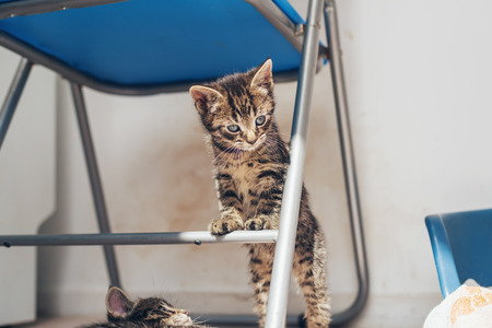 underneath: Curious little grey kitten standing upright balanced on the cross bar of a metal on a chair staring to the side with big blue eyes