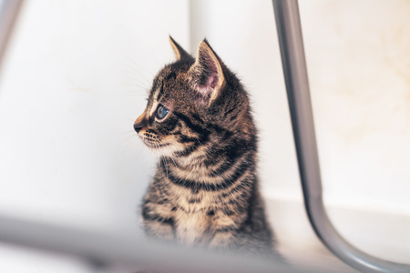 observant: Curious little kitten with big blue eyes sitting under a metal chair staring off to the side watching something intently
