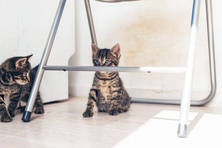Two little grey tabby kittens playing together under a metal chair with one staring alertly over the top of the bar, with copyspace