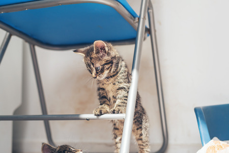 cross bar: Little grey tabby kitten standing on a chair balancing on a cross bar watching something on the floor
