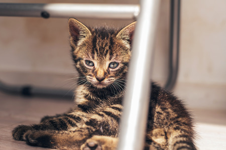 somnolent: Domestic Gray Tabby Kitten, Resting on the Floor Under a Metal Chair, Showing a Thoughtful Expression.