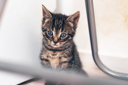 quietly: Adorable tiny kitten with huge blue eyes sitting quietly under a metal chair watching the world outside
