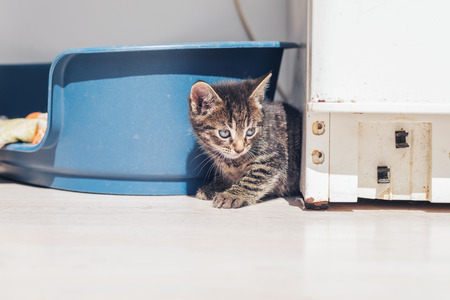 decides: Curious baby grey tabby kitten peering around a corner with big blue eyes as it decides whether it is safe to come out and play