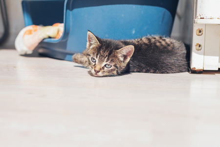 drowsy: Sleepy baby kitten lying down to rest on the floor alongside its bed with a drowsy expression, low angle with copyspace