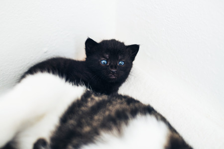 peering: Tiny dark tabby kitten with blue eyes peering over the top of its mother at the camera against a white wall with copyspace Stock Photo