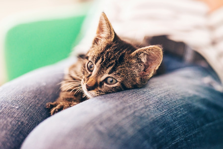 Close up Cute Gray Tabby Kitten Resting on Top of Lap with Eyes Wide Open and Looking Into Distance. Stock Photo