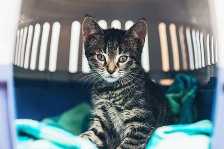curiously: Curious cute little tabby kitten with huge eyes staring curiously at the camera as it sits on a blue blanket in a travel crate
