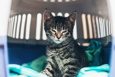 Small striped tabby kitten sitting on a blue blanket in a plastic travel crate looking sleepily at the camera , close up view through the door of the crate