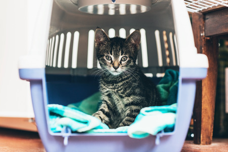 Cute little tabby kitten sitting in a travel crate on a blue blanket staring intently at the camera with big blue eyes Stock Photo