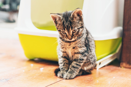 Sleepy pensive little tabby kitten sitting on the wooden floor alongside its box staring sleepily down at the floor