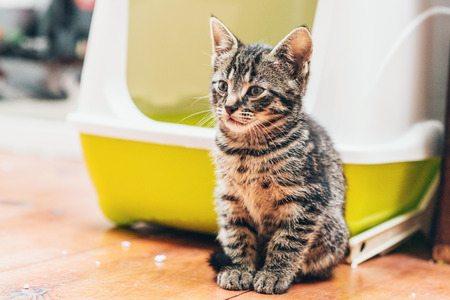 Pretty little striped tabby kitten sitting on the wooden floor in front of it colorful plastic bed watching something intently