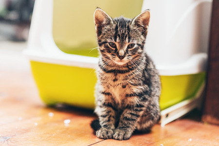 box: Adorable brown European kitten looking at camera while sitting on the wooden parquet floor in front of a plastic yellow and white covered litter box or bed for cats kept indoors