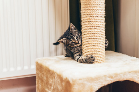 Feisty little tabby kitten testing out its claws on its brand new rope scratching post indoors at home