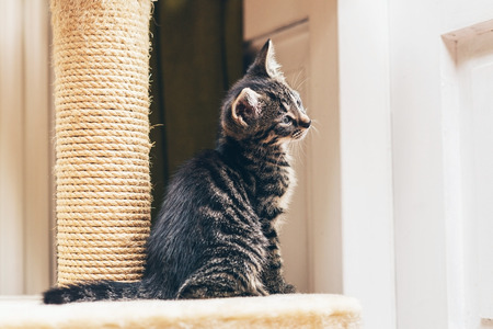 facing right: Curious little grey stripe tabby kitten sitting watching something with its tilted head to one side , profile view facing right Stock Photo
