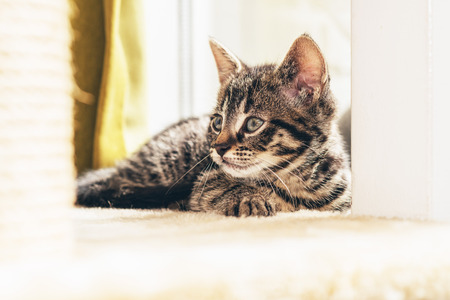 mesmerized: Alert little domestic tabby kitten staring intently at something with pricked ears , low angle view of it lying down