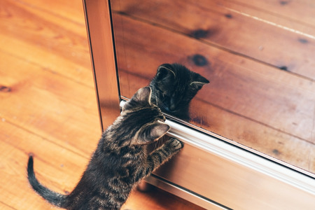 mesmerized: Adorable little grey tabby kitten seeing its reflection in the glass mirror standing on its hind legs staring mesmerized at the image, high angle view
