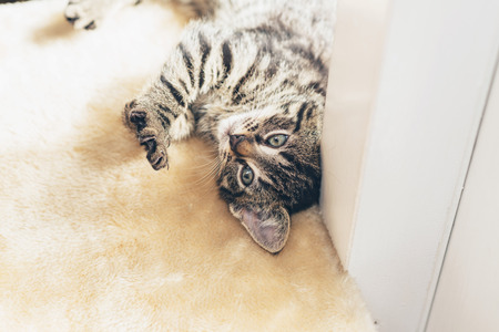 hunter playful: Playful little tabby kitten with distinctive stripes rolling over on its back to look up at the camera with curious blue eyes Stock Photo