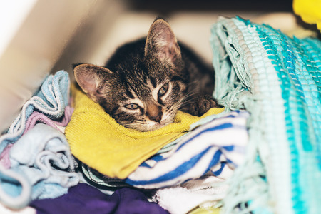 snuggling: Cute tabby kitten asleep in the laundry snuggling down comfortably looking up at the camera with dozy eyes Stock Photo
