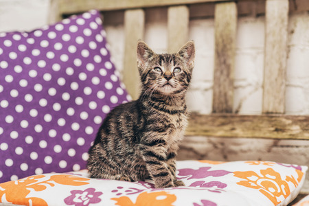 comfy: Cute little grey tabby kitten sitting on a colorful comfy cushion on a wooden garden bench watching something in the air