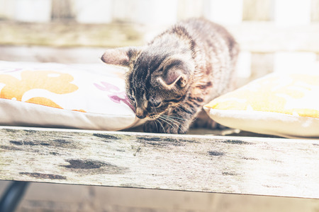 crouching: Young grey striped tabby kitten on a wooden garden bench crouching between two colorful cushions looking down at the ground, with copyspace
