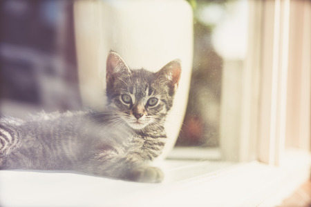 grey tabby: View through glass of a small striped grey tabby kitten lying on the floor peering out alertly as it waits for the return of its owner