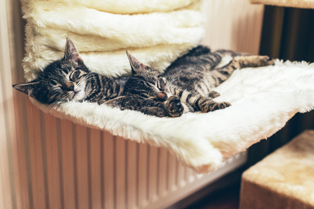 asleep chair: Two adorable tiny tabby kittens lying sleeping on a chair stretched out close together with their heads towards the camera Stock Photo