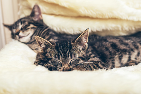 snuggling: Cute kitten snuggling into a fluffy blanket on a chair as it lies sleeping with its sibling in the house Stock Photo