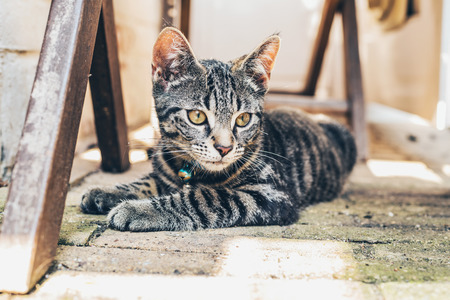grey tabby: Grey tabby cat with intense golden eyes lying on a paved floor amongst wooden trusses staring at the camera Stock Photo