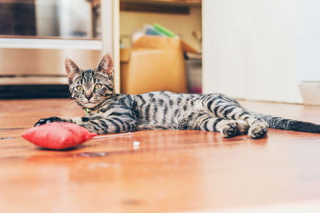 grey tabby: Grey tabby cat with pretty striped markings lying indoors on a wooden floor with a red stuffed toy lifting its head to look at the camera Stock Photo