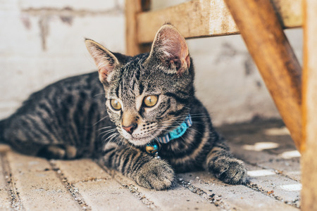 blue collar: Thoughtful grey tabby cat wearing a blue collar and bell lying thinking on a paved floor looking away to the side