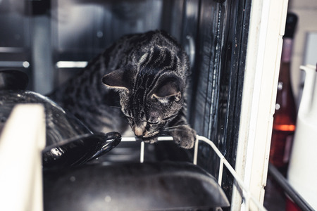 peers: Curious grey striped tabby kitten climbing into a dishwasher as it peers closely at the loaded kitchenware, close up of its face Stock Photo