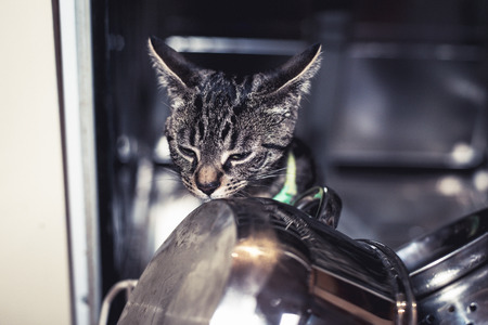 grey tabby: Curious young grey tabby cat exploring inside a dishwasher checking out the stainless steel kitchenware, closeup of its face