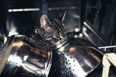 steel head: Young tabby kitten exploring inside a dishwasher filled with stainless steel kitchenware with its head visible between the pots and colander