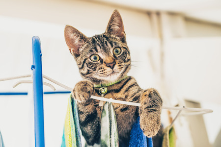 looking towards camera: Low angle view of naughty gray tabby kitten on top of clothes horse looking down towards camera Stock Photo